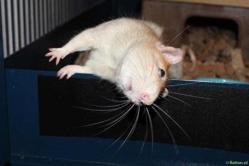 SOK opvanger Ratatouille met een extreem scheve kop door een middenoorontsteking
